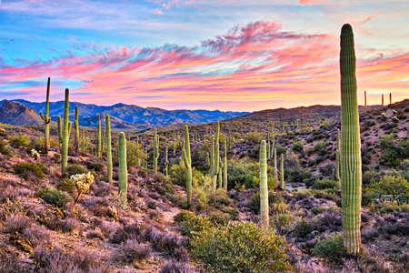 cholla: Sunrise in Sonoran Desert near Phoenix, Arizona. Stock Photo