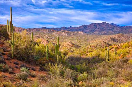 cholla: Saguaros in Sonoran Desert, Arizona.