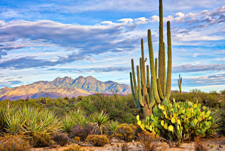 cholla: Saguaro and Four Peaks near Phoenix, Arizona.