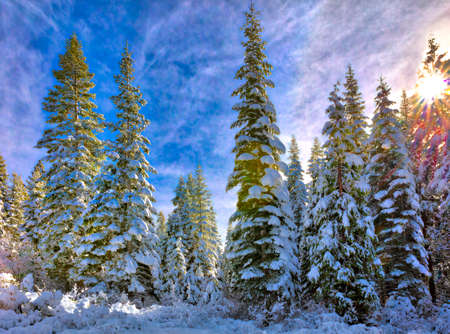 Snowcapped Pines in California Sierra Nevada mountains. Stock Photo - 81078087
