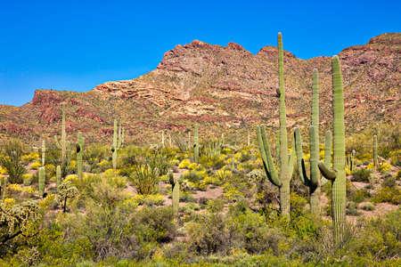 cholla: Saguaro Cactus in blooming Sonoran Desert. Stock Photo