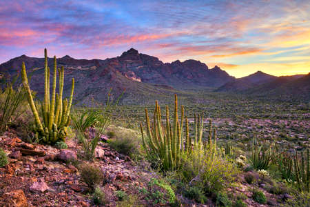 Organ Pipe Cactus National Monument at sunrise. Stock Photo