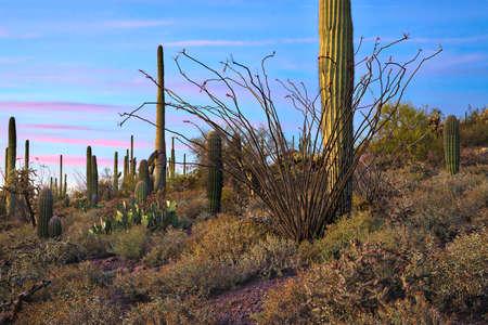 Saguaros in Saguaro National Park, at sunset.