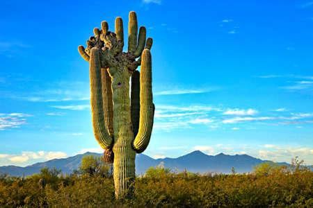 Cristate or Crested Saguaro Cactus near Tucson, Arizona
