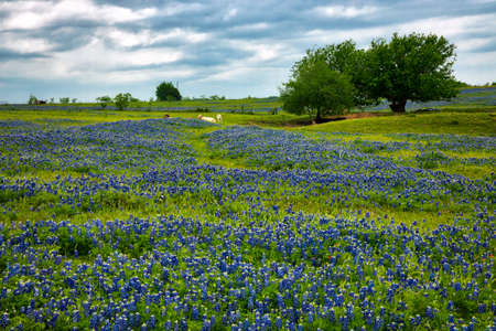 Cows in Wild Flowers  Field, Texas Hill Country, Texas