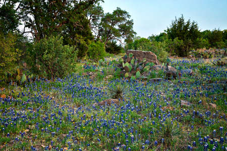 Bluebonnets and Indian Paintbrush in the Texas Hill Country, Texas