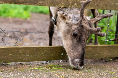 A domesticated reindeer on a farm stuck his head through the fence of the paddock and is trying to collect the grass that the farmer dropped on the road Banco de Imagens