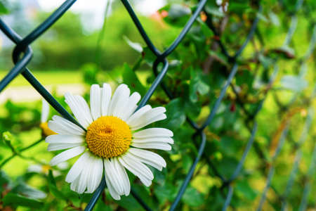 White chamomile sprouting through the fence. Striving for freedom Stock Photo