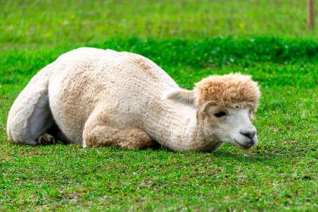 Cute peruvian trimmed Alpaca on the Alpaca Farm in South Estonia.