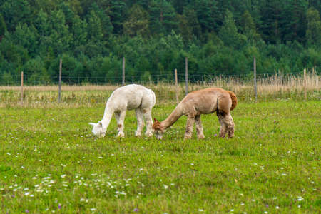 Herd of shaggy suri alpacas in the green pasture. Funny peruvian animal alpaca. Vicugna pacos. Funny animals of different colors: brown and white