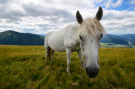 piebald: Fleabitten oa caballo picazo gris se alimentan de los pastos de monta�a con cordillera en el fondo Foto de archivo