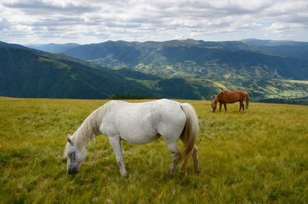 Yin yang black and white horses  feeding on the mountain pasture with mountains in background photo