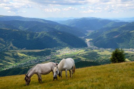 Two white horses feeding on the mountain pasture with mountains and village in background photo