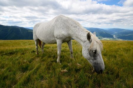 piebald: Fleabitten or piebald grey horse feeding on the mountain pasture with mountain range in background Stock Photo