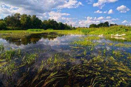 plantas acuaticas: R�o con �rboles en las orillas y un mont�n de plantas de agua y con un paquete de gansos