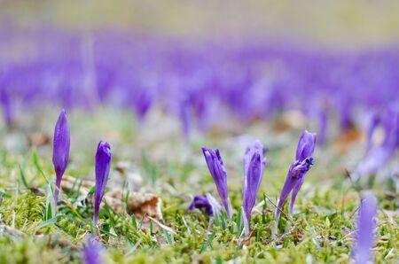 field depth: Purple crocus field depth of field