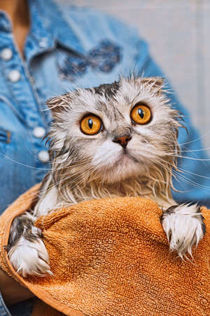 cat grooming: Just washed highland fold washed ed cat sitting on hands with widely opened amber eyes Stock Photo