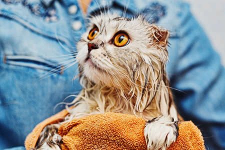 catling: Wet just washed cat of highland fold breed in owners hands