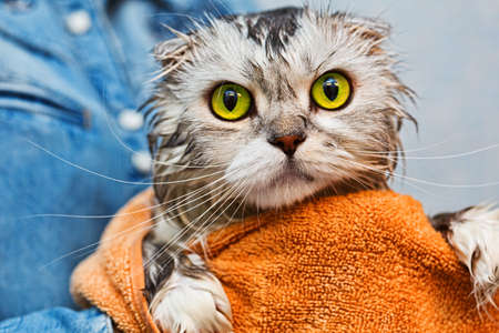 cat grooming: Scottish fold just washed cat with bright green eyes Stock Photo