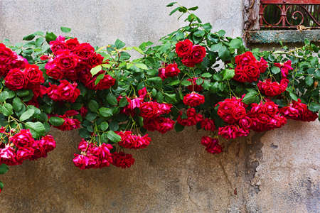 roseleaf: Blooming rose bush climbing over an old stone wall Stock Photo