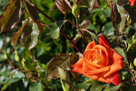 roseleaf: Red and orange Bulgarian rose on a bush surrounded by leaves