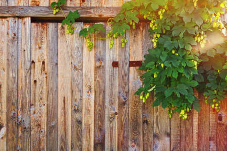 Old weathered fence made of timber now partly covered by hop bush climbing to the up with fresh cones. Rural style background with strongly marked wooden plank texture.