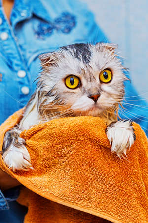 Cat with widely opened yellow eyes sitting wrapped in towel on his mistress hands. Cat is highland fold lop-eared breed. Vertical capture. Stock Photo