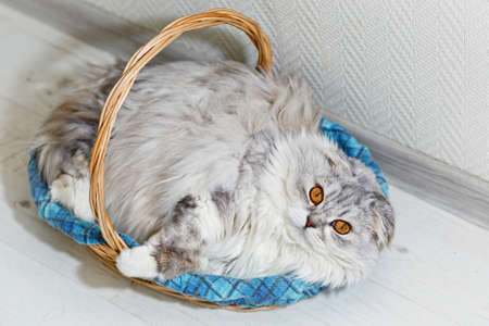 Cute and fluffy fat cat with gray fur and yellow eyes relaxed lie in his sleeping basket with checkered Scottish plaid after meal. Cat id highland fold, part of Scottish lop eared breed. Standard-Bild