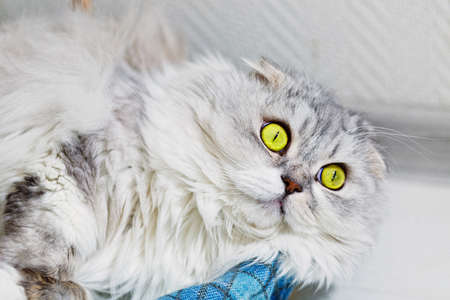 Portrait of young gray lop eared fluffy cat of highland fold breed lie on the scottish plaid with widely opened green eyes. Close-up capture, selective focus. Standard-Bild