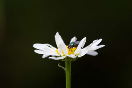 close up of marguerite with housefly