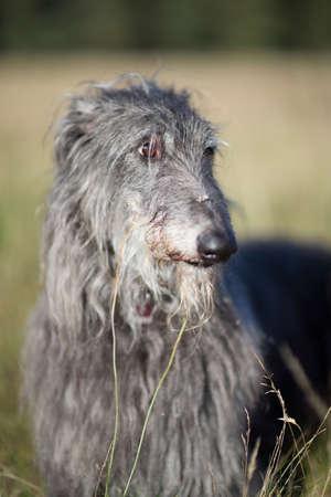 background: portrait of a scottish deerhound
