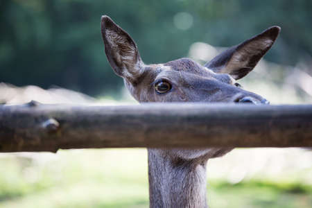 red deer looking over a wooden fence
