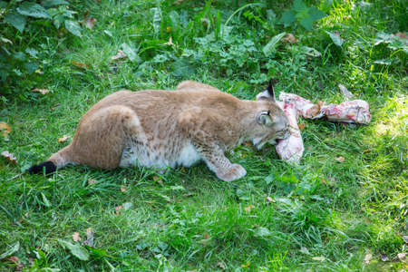 the lynx: lynx eating