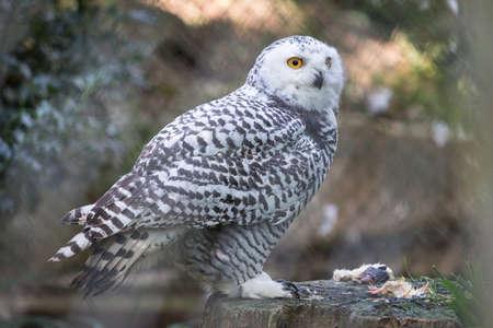 snowy owl int the zoo