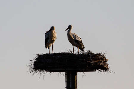 two stork silhouettes displaying in the sunset