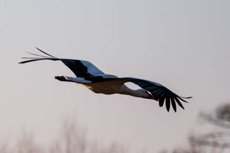 stork flying in the sunset