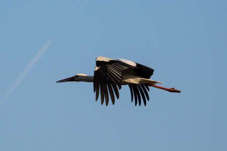 stork flying in the sunset