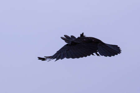 rook flying in the evening Stock Photo