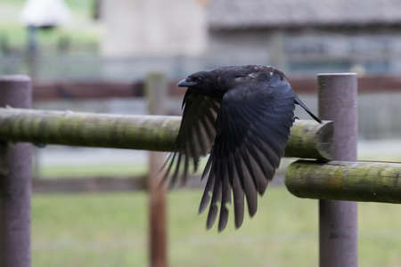 rook starting to fly Stock Photo