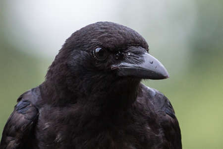 portrait of a rook 写真素材