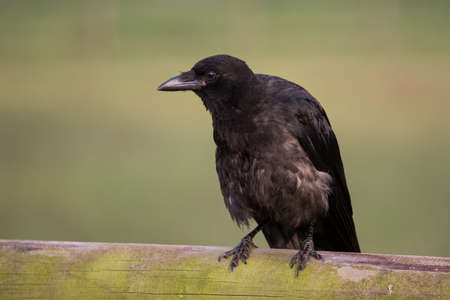 rook sitting on a fence Stock Photo