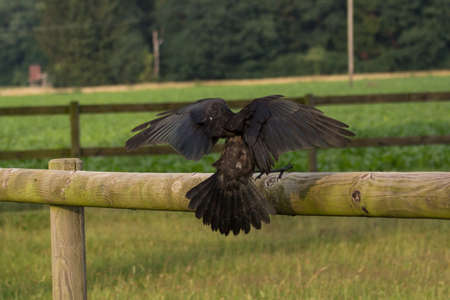 rook landing on a fence Stock Photo