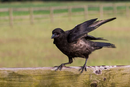 wire fence: rook sitting on a fence Stock Photo