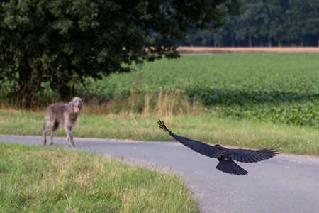 hounds: rook flying next to scottish deerhound