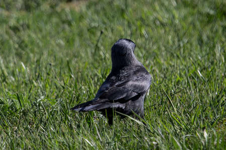 close up of rook on grassy field