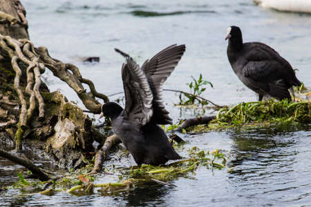 coot in a sea Stock Photo