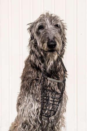 Scottish deerhound retrieve a muzzle