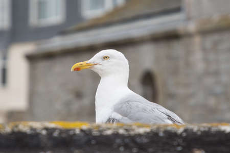 Seagull in St Ives