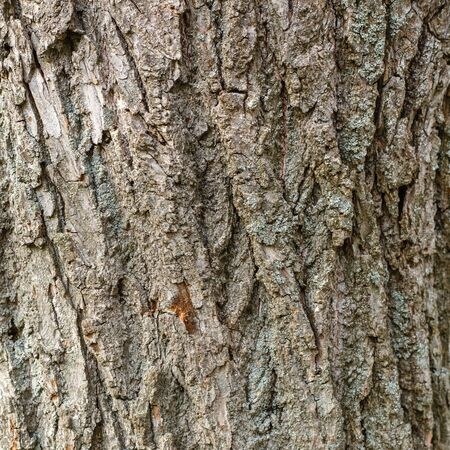 Bark of old deciduous tree. Natural background. Texture.