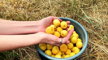 Ripe juicy organic apricots in the hands of a girl. Closeup shot.